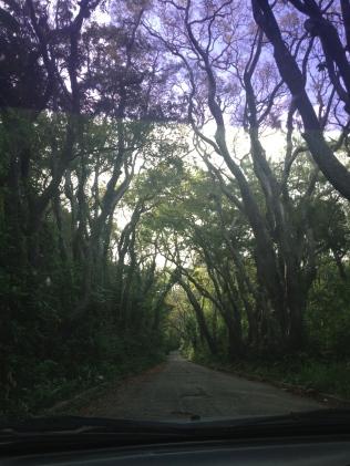 Mahogany Tree Canopy
