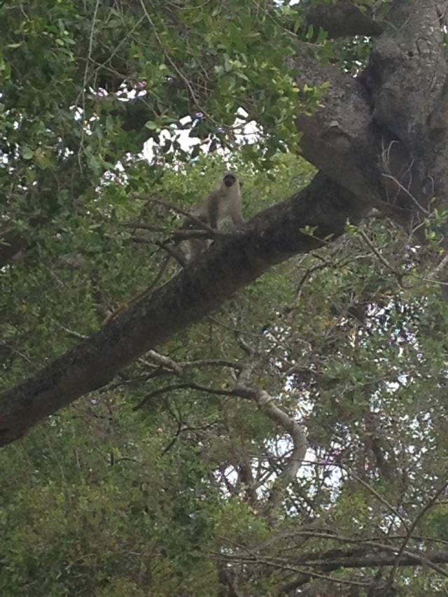 Green monkey in a tree