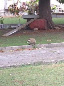 monkey enjoying breadfruit