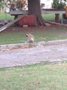 monkey and breadfruit