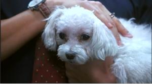 poodle in Lee Jae Kyung's hands