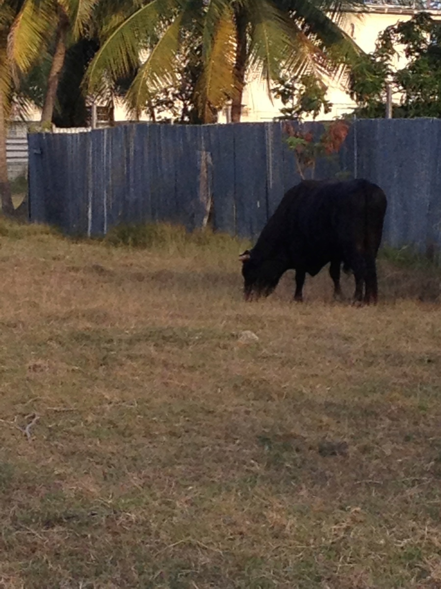 Bull in front yard