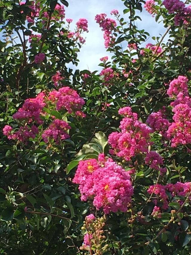 Crepe Myrtles flowers