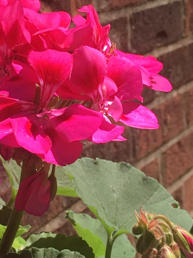 fuchsia flowers against brick wall