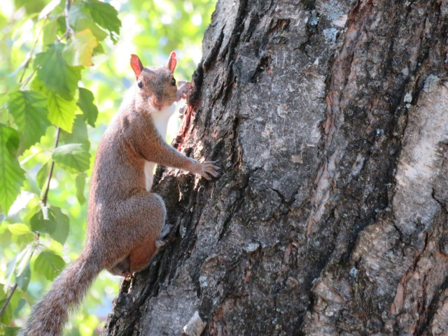 Photo of facing eye to eye with a squirrel climbing a tree.