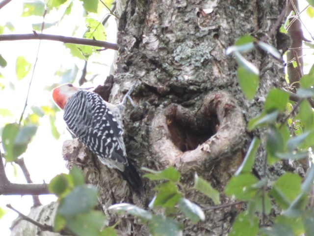 red-bellied woodpecker on tree with heart-shaped cavity